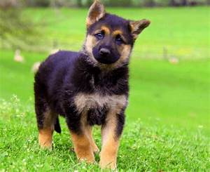Miniature German Shepherds for Sale are A Compact Choice
