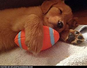 Golden Retriever Puppy Sleeping | The Little Things ...