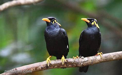 Untuk anda pecinta burung pastinya sudah mengenal burung jika anda ingin menghasilkan burung flamboyan yang rajin gacor anda harus rutin merawatnya dan harus telaten dan anda harus perhatikan tips dan trik. Identifikasi jenis kelamin pada burung beo | OM KICAU