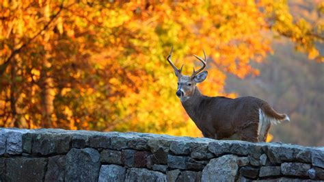 Whitetail Deer With Background Of Tree With Yellow Leaves