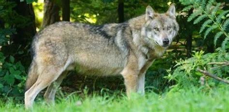 color wolf   personality quiz proprofs quiz