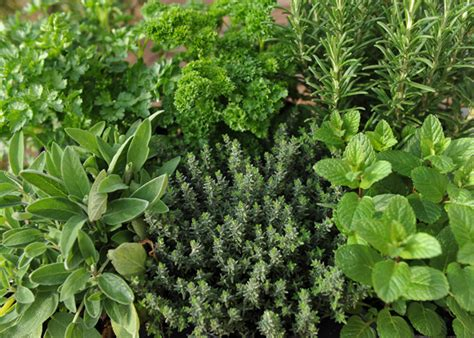 how to herbs gardening with herbs moore farms botanical garden