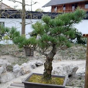 bonsai richtig schneiden mein schoner garten With feuerstelle garten mit künstliche bonsai bäumchen