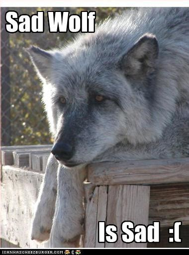 sad wolf cheezburger funny memes funny pictures