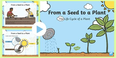 life cycle   plant powerpoint early childhood plants