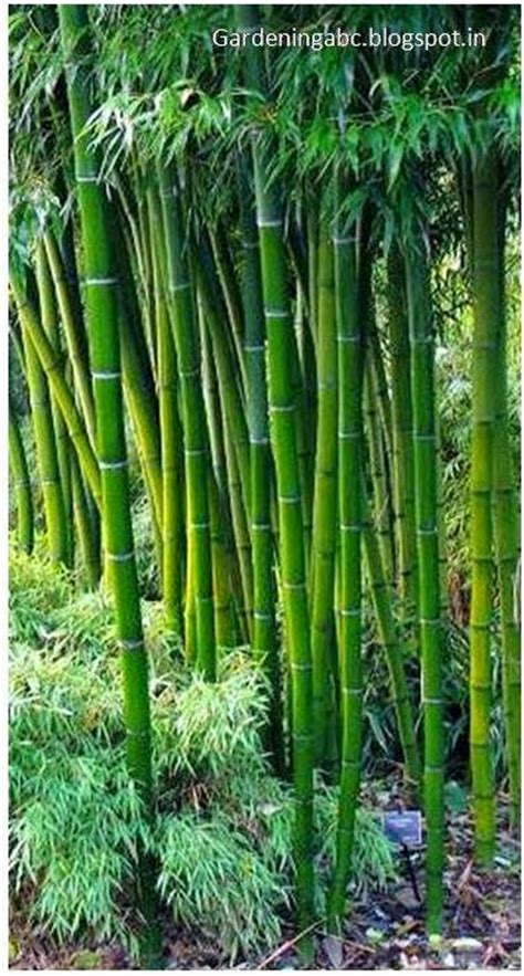 backyard bamboo growing bamboo plants how to create a bamboo garden in your backyard gardening abc