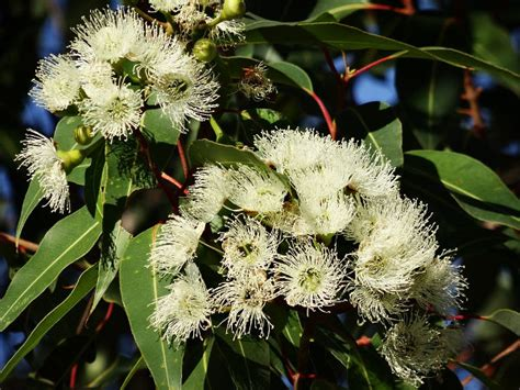 Eukalyptus Garten Pflanzen by Eukalyptus Pflanzen Vermehren Arten