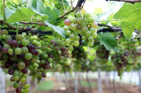 grape plant pictures top 28 grape plants guarding grape vines building guard rails barefootin red white blue