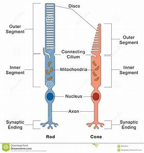 Eyes Diagram Rods Cines : image result for rod and cone cell diagram light in the ~ A.2002-acura-tl-radio.info Haus und Dekorationen