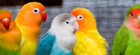 gabbie per pappagalli inseparabili pappagalli inseparabili agarponis specie e caratteristiche