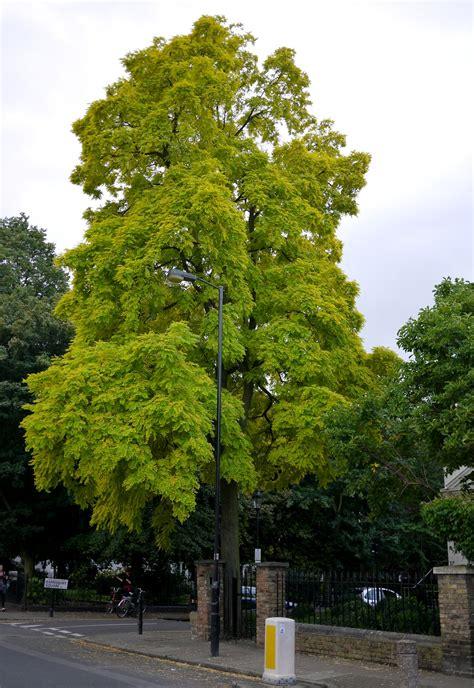 barnsbury s golden tree the tree