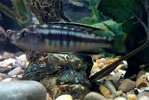 cichlids.com: what is he? blue with strip's & yellow fins ...