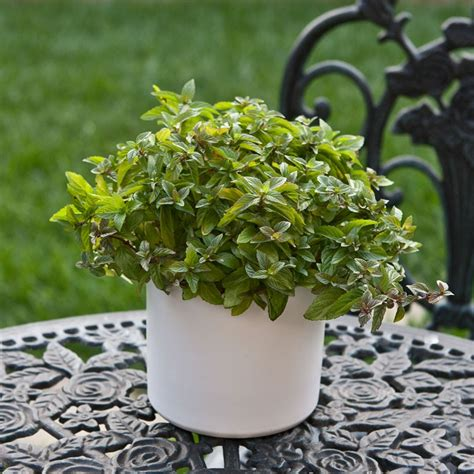 Fragrant Mint In Ceramic White Cylinder Container Green