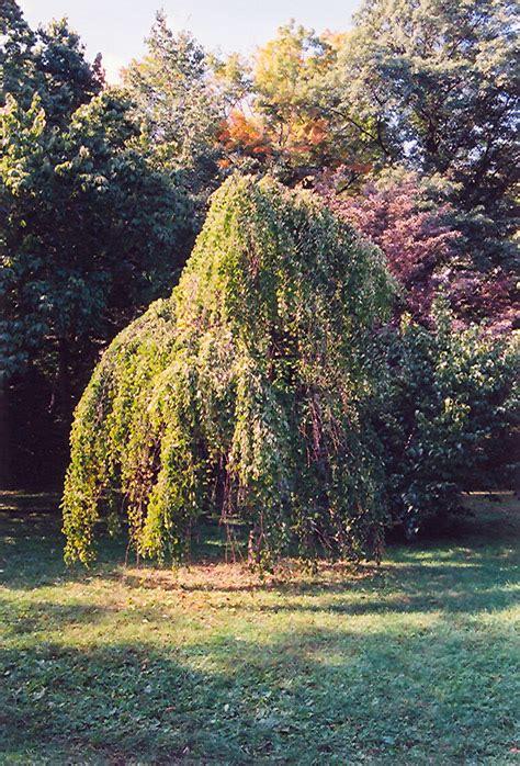 morioka weeping katsura tree cercidiphyllum japonicum