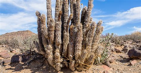 Hoodia: Benefits, Uses, Dosage, and Side Effects