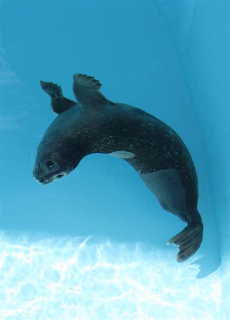 seal harbor aquarium mystic rescued successfully amputee rehabilitated zooborns female