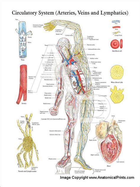 Circulatory System - Arteries, Veins & Lymphatics Poster