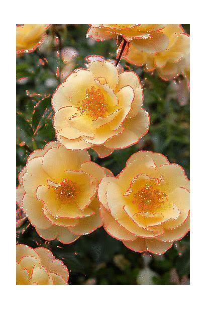 Amber Flower Carpet Flores Rose Plaisir Yeux