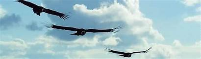 Condor Vulture Gifs Vultures Flying Andean Eagle