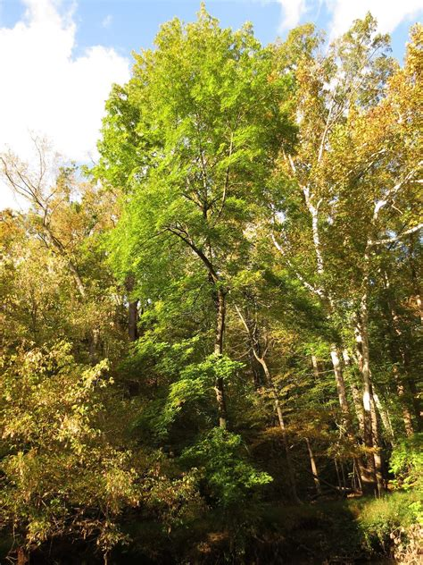 Green Ash Information: Tips For Growing Green Ash Trees