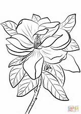 Magnolia Coloring Pages Grandiflora Drawing Flowers Printable Pelican Tree Louisiana Template Paper State Brown Getdrawings Sketch Categories Game Supercoloring sketch template