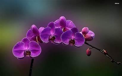 Purple Orchid Orchids Flower Wallpapers Desktop Flowers