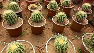 Echinocactus Grusonii (Golden Barrel Cactus) Plant - YouTube
