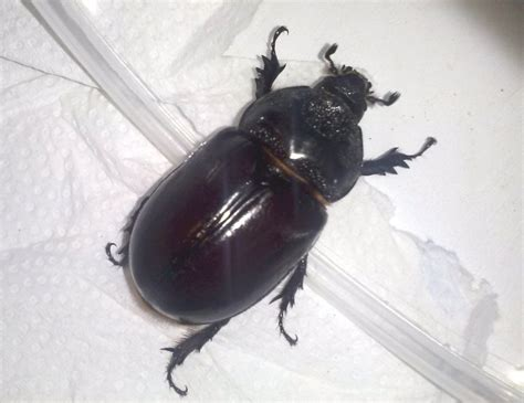 Large Common Beetles — Texas Insect Identification Tools