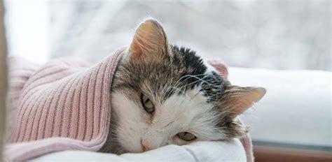 fiv  cats feline immunodeficiency virus