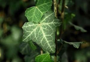 Pflanzen In Der Wohnung : pflanzen die wir in der wohnung haben sollten efeu gesundheit ~ A.2002-acura-tl-radio.info Haus und Dekorationen