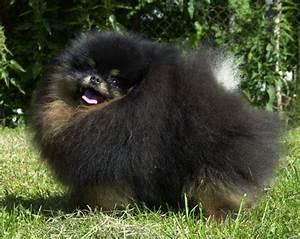 Black & Tan Pomeranians – Pomeranian Dog Information. Care ...