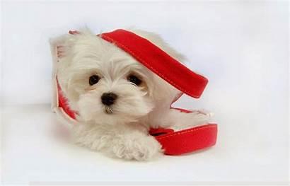 Puppies Wallpapers Desktop Puppy Dog Very
