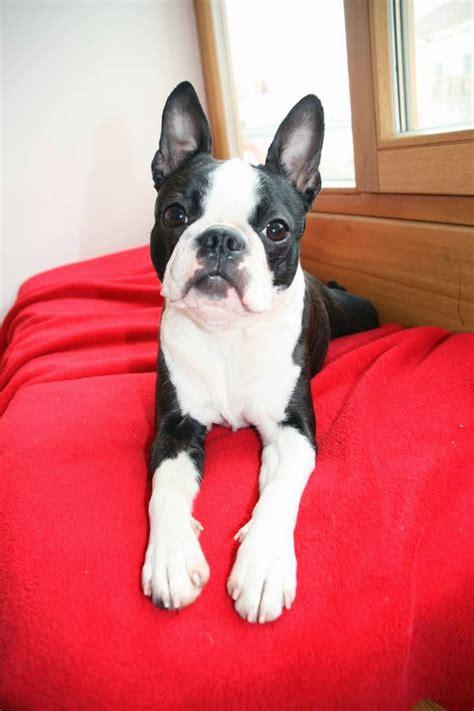 boston terrier italy breed