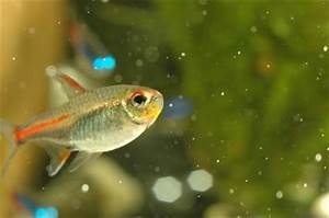 tetra fish water temp aquarium fish Purple Emperor Tetra