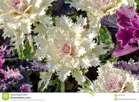 ornamental kale perennial ornamental cabbage royalty free stock photo image 38279135