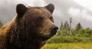 Grizzly Bear Wallpapers Images Photos Pictures Backgrounds
