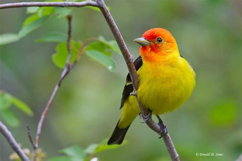 image gallery songbirds