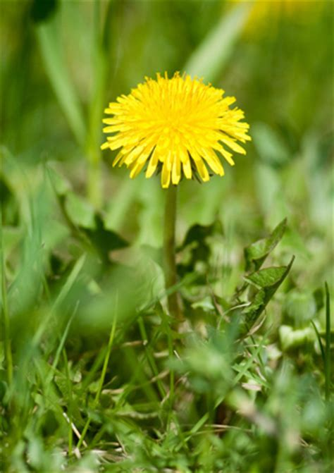 how to get rid of dandelions how to get rid of dandelions