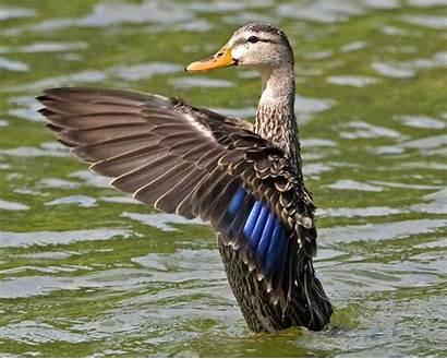 Duck Mottled Ducks Drake Guide Male Audubon