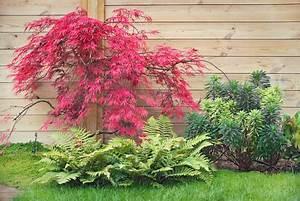 Roter Japanischer Ahorn : ahorn acer palmatum dissectum garnet green4living ~ Frokenaadalensverden.com Haus und Dekorationen