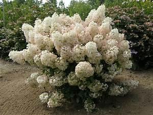 Hydrangea Paniculata Bobo : hydrangea gammon 39 s garden center landscape nursery ~ Michelbontemps.com Haus und Dekorationen