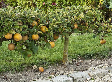 planter un pommier en cordon simple