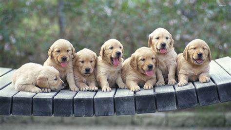 Golden Retriever Puppy Wallpaper by Golden Retriever Puppy Wallpapers Driverlayer Search Engine