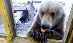 Chart Meeting Cute Moment Wild Bear Is Fed Cookies By Oilmen In Russia