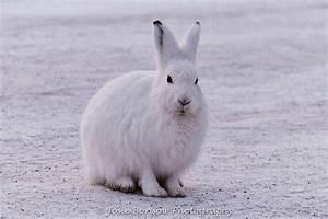 The Arctic Hare | Polar Rabbit