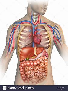 Anatomy Of The Human Body With Different Organs That