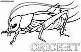 Cricket Coloring Pages Insect Print Drawings Colorings 12kb 649px 1000 sketch template