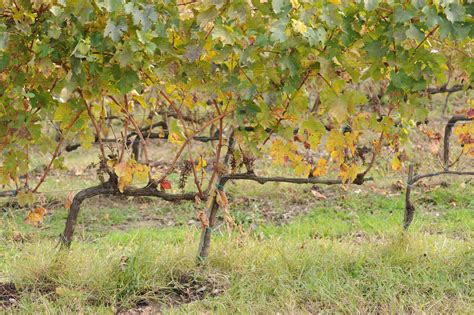 pruning grape vines fall dsc 5301 grape vines in fall carefully pruned tended winery near chianciano tuscany italy