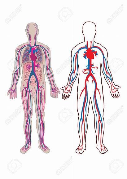 Vein Human Anatomy Clipart Vector Diagram Illustration