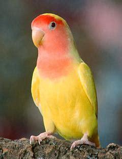 Baby Lutino Lovebird